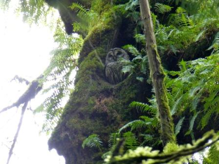 Barred owl on nest in tree.