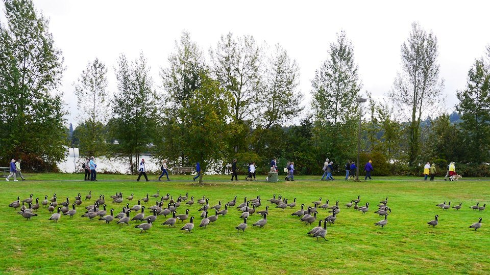 Oct 11 2014 walkers and geese at Willamette park
