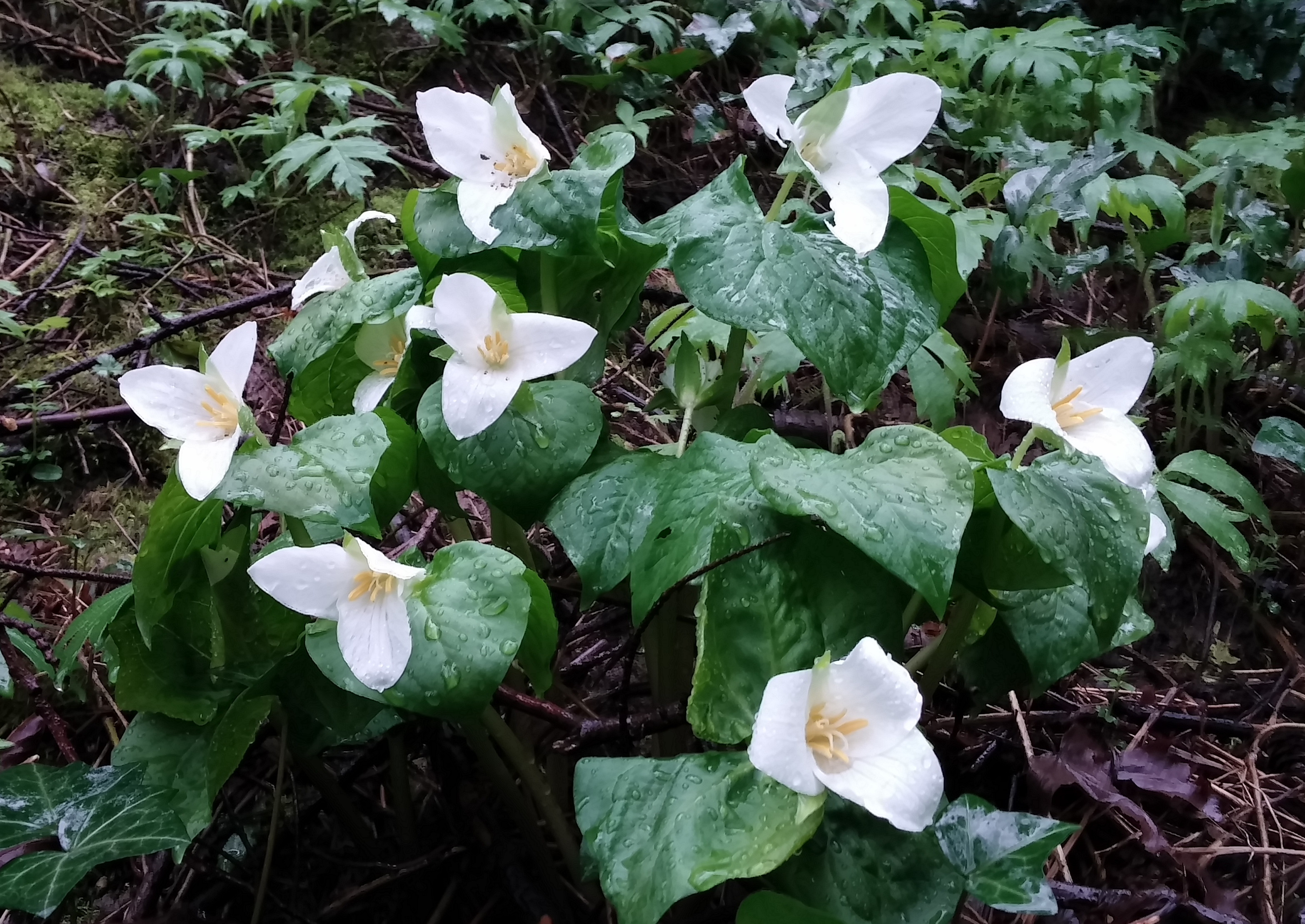 Trilliums are blooming in Himes Park on March 14th walk.