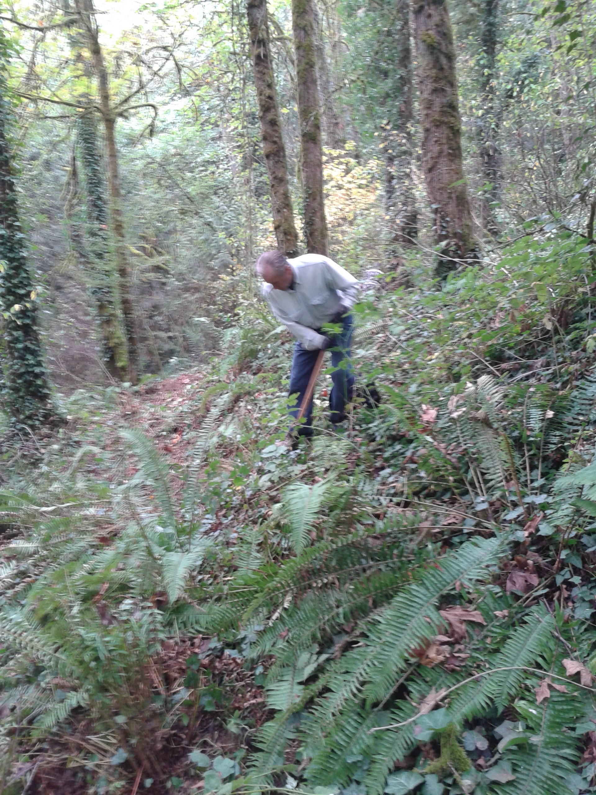 New alignment for trail that is not as steep as previous trail.  SW Trails volunteer is transplanting sword ferns that are in trail alignment.
